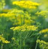 укроп зонтиках на фоне растительного — Стоковое фото