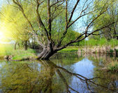 The remarkable landscape is with a lake and old willow — Stockfoto