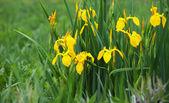 Yellow iris (Iris pseudacorus) beautiful wild flower — Stock Photo
