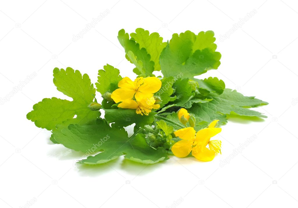 Celandine flowers (Chelidonium mahus) isolated on white background — Stock Photo #11423466