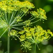 Dill umbels on vegetable background — Stock Photo