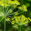 Stock Photo: Dill umbels on vegetable background