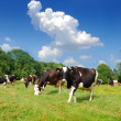 Cows are on a pasture — Stock Photo
