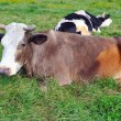 Stock Photo: Cow resting on green grass