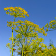 Royalty-Free Stock Photo: Dill umbels on a background blue sky
