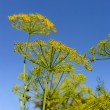 Dill umbels on a background blue sky — Stock Photo