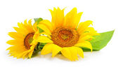 Sunflowers are on a white background — Stock fotografie