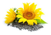 Yellow sunflowers and sunflower seeds on a white background — Stock Photo