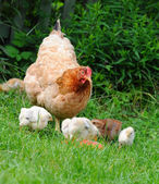 Hen with chickens — Stock Photo