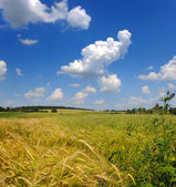 Wheat field and blue sky with clouds — Stock Photo