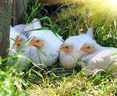 Jeunes poules — Photo