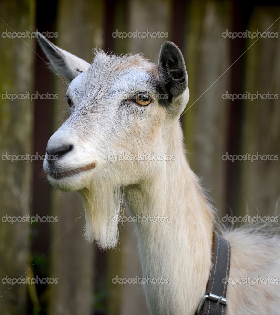 Goat is hornless — Stock Photo #11798106