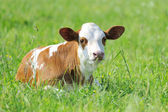 Calf in grass — Stock Photo
