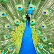 Stock Photo: Beautiful indian peacock with fully fanned tail