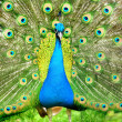 Beautiful indian peacock with fully fanned tail — Stock Photo