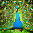 Beautiful indian peacock with fully fanned tail — Stock Photo #11367304