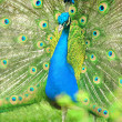 Beautiful indian peacock with fully fanned tail — Stock Photo #11367321