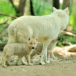 Arctic wolf — Stock Photo #11367358