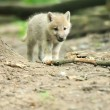 Arctic wolf puppy — Stock Photo