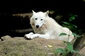 Beyaz kurt — Stok fotoğraf