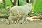 Arctic wolf — Photo