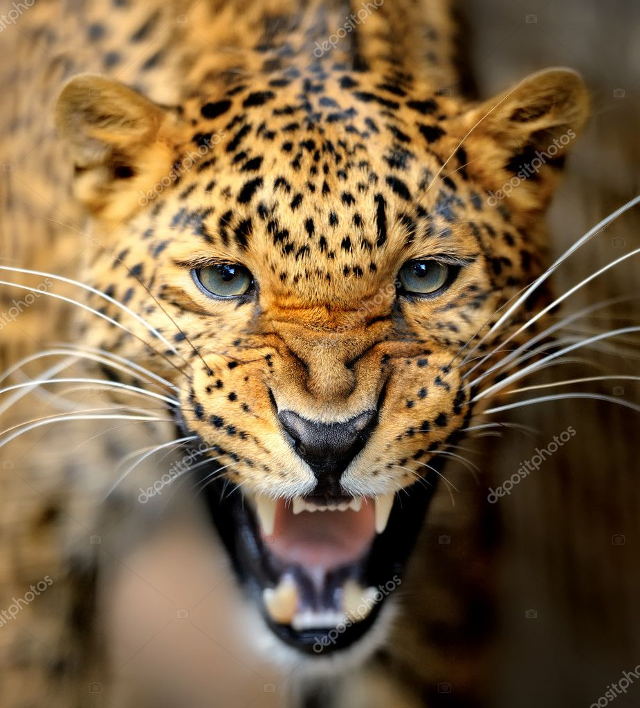 Leopard  Stock Photo #11367478