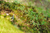Closeup of green moss — Stock Photo