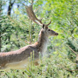 Roe deer — Foto Stock #11640291