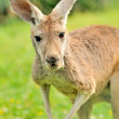 Stock Photo: Kangaroo