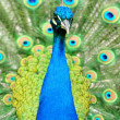 Beautiful indian peacock with fully fanned tail — Stock Photo #11640349