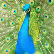 Beautiful indipeacock with fully fanned tail — Stock Photo #11640351