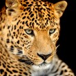 Stock Photo: Leopard portrait