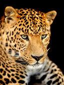 Leopar portre — Stok fotoğraf