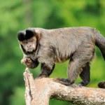 Capuchin monkey — Stock Photo #12073588