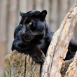 Black leopard — Stock Photo #12073615