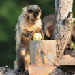 Capuchin monkey - Stock Photo