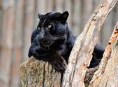 Black leopard — Stock Photo