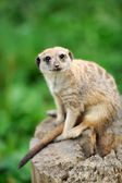 A meerkat standing upright and looking alert — Stock Photo