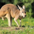 Kangaroo — Stock Photo #12144029