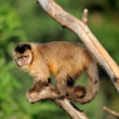 capuchin monkey — Stock Photo #12144037