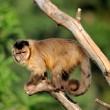 Capuchin monkey — Stock Photo #12144037
