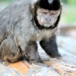 capuchin monkey — Stock Photo #12144046