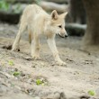 Arctic wolf pup — Stock Photo