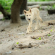 Arctic wolf pup — Stock Photo #12144081