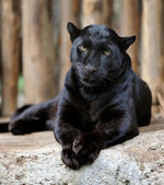 Black leopard — Stock Photo