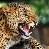 Leopard porträtt — Stockfoto