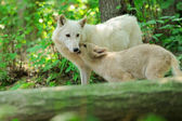 White wolf in forest — Foto Stock