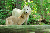White wolf in forest — ストック写真