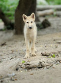 Arctic wolf pup — Photo
