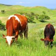 The red cow with a brown calf — Stock Photo #10967964